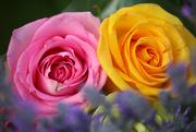 14th Jun 2019 - Rose Twins
