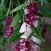30 Days Wild - Callistemon