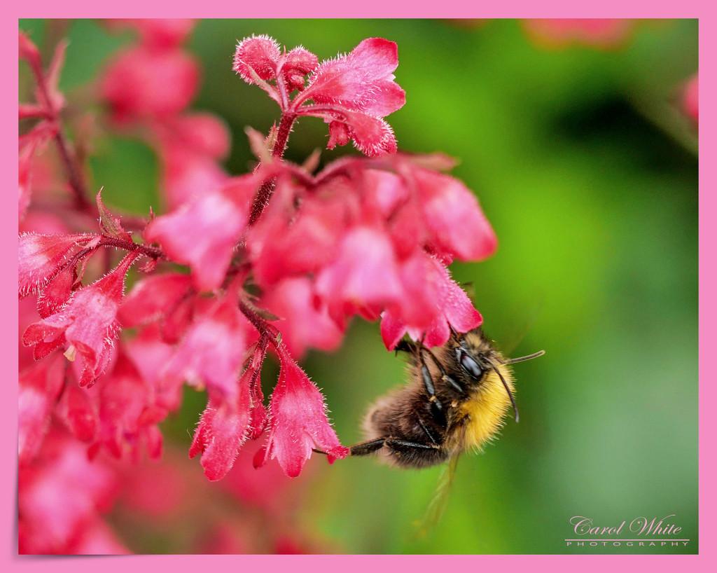 Bee And Heuchera by carolmw