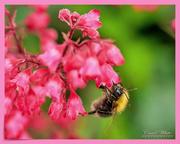 15th Jun 2019 - Bee And Heuchera