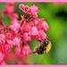 Bee And Heuchera