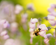 15th Jun 2019 - bee  in the flowers