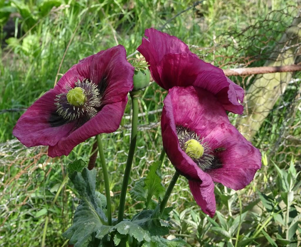 poppies 2 by gijsje
