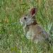 Back yard bunny