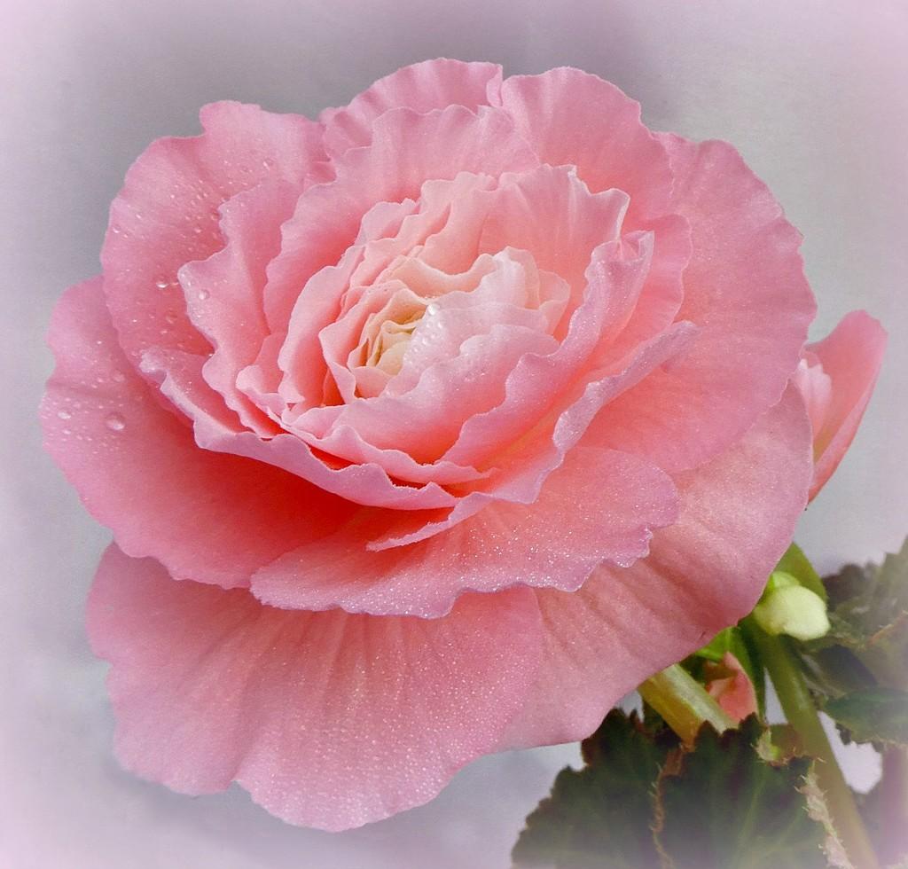 My Begonia. by wendyfrost