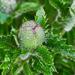 Prickly Poppy Bud