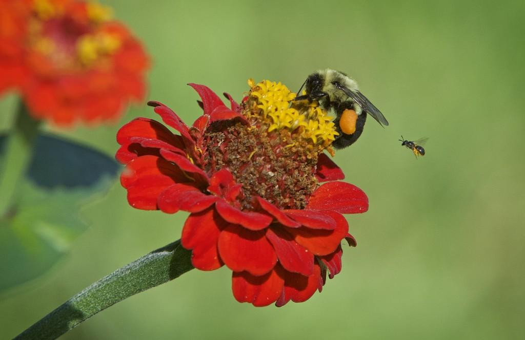 LHG_9815 Pollen Sac by rontu