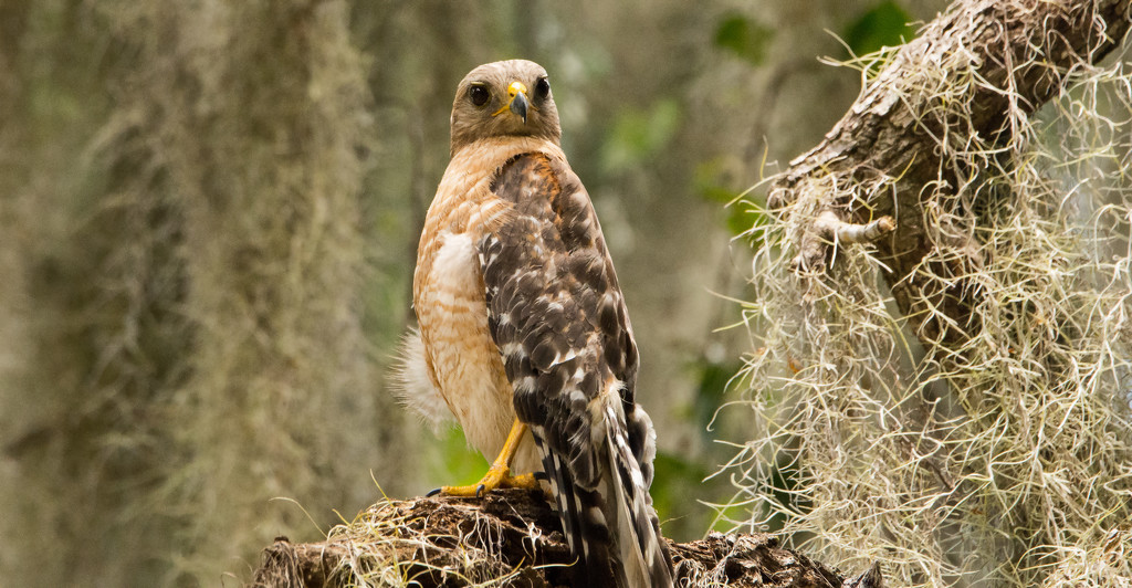 Red Shouldered Hawk on it's Perch! by rickster549