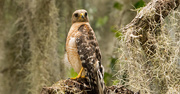 15th Jun 2019 - Red Shouldered Hawk on it's Perch!