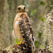 Red Shouldered Hawk on it's Perch!