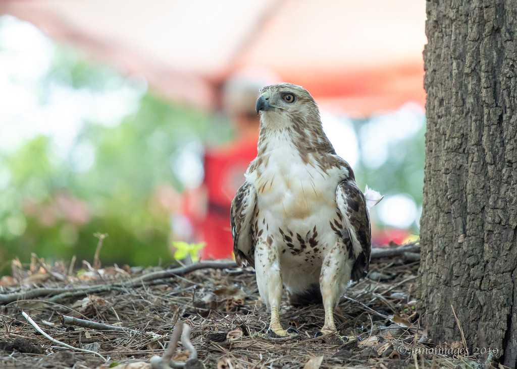 Juvenile Red Tail Hawk by jnorthington