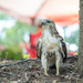 Juvenile Red Tail Hawk