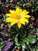 15th Jun 2019 - Yellow flower