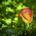 Two Tone Rose with Bokeh