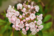 16th Jun 2019 - The mountain laurel is blooming