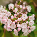 The mountain laurel is blooming
