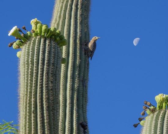 Woodpecker on the saguaro by ksmale