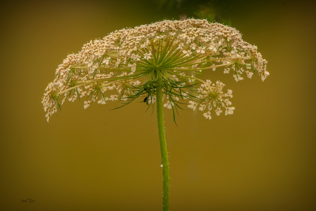 The beauty of Queen Anne's Lace  by samae