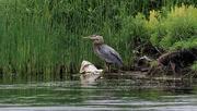 16th Jun 2019 - great blue heron wading