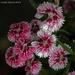 Dianthus after the rain