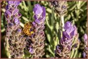 17th Jun 2019 - Gathering Pollen