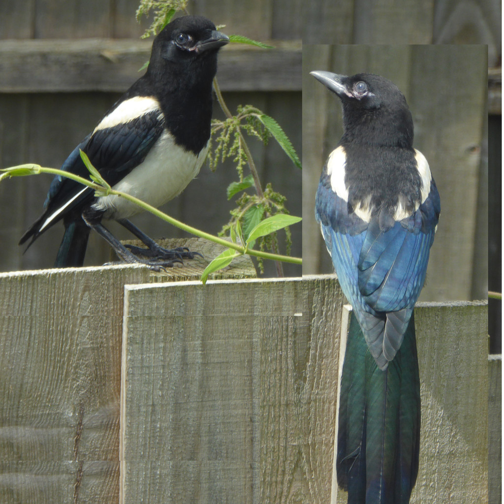 magpies by shannejw
