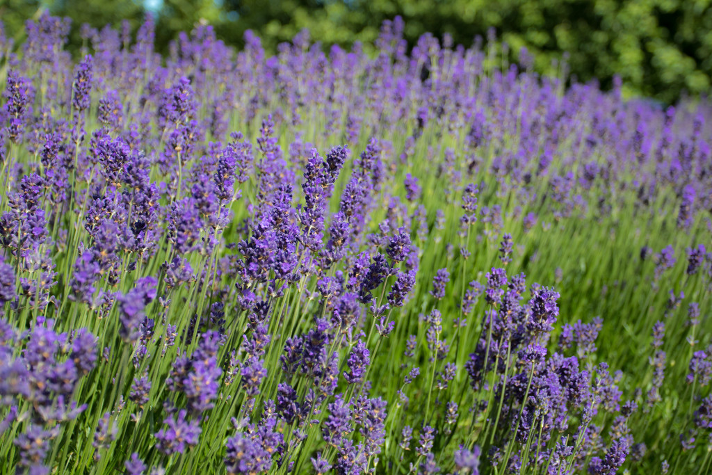 Lavender by peadar