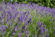 17th Jun 2019 - Lavender