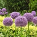 Giant Allium..........
