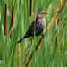Female red-winged blackbird shaking loose some cattail seeds