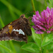 Silver-spotted skipper butterfly and clover