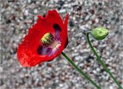 17th Jun 2019 - Large Poppy