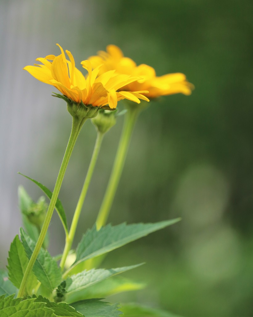 June 17: Coreopsis by daisymiller
