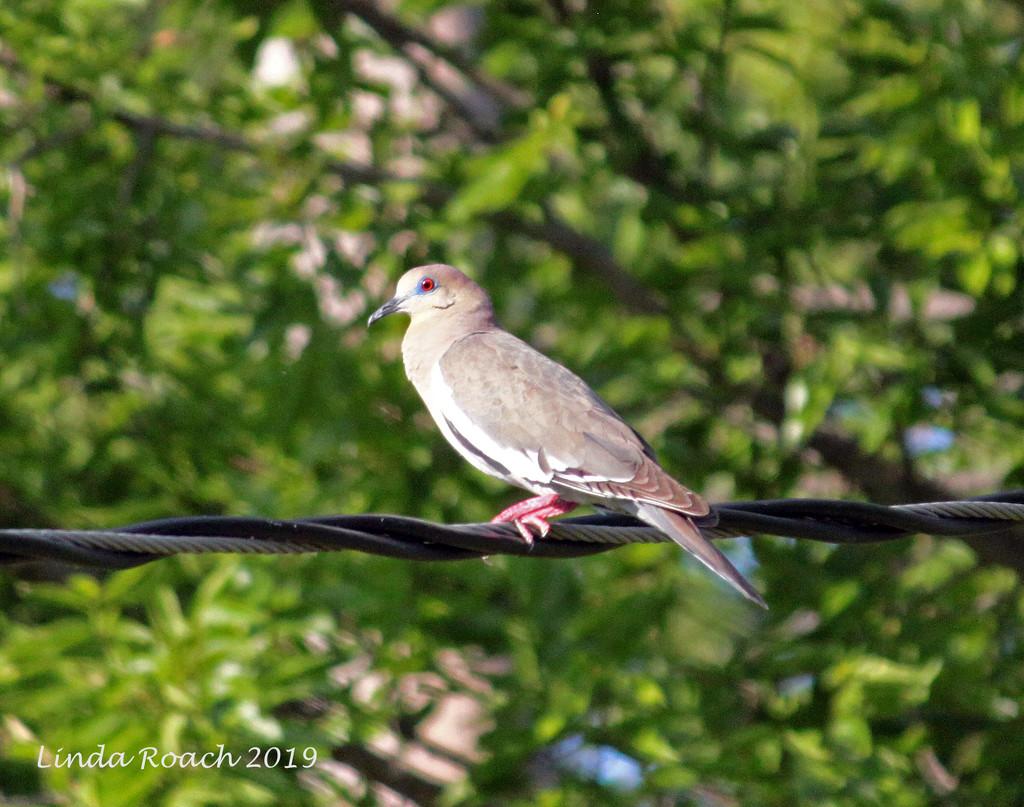 Dove on a Wire by grannysue