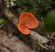 14th Jun 2019 - Orange fungi