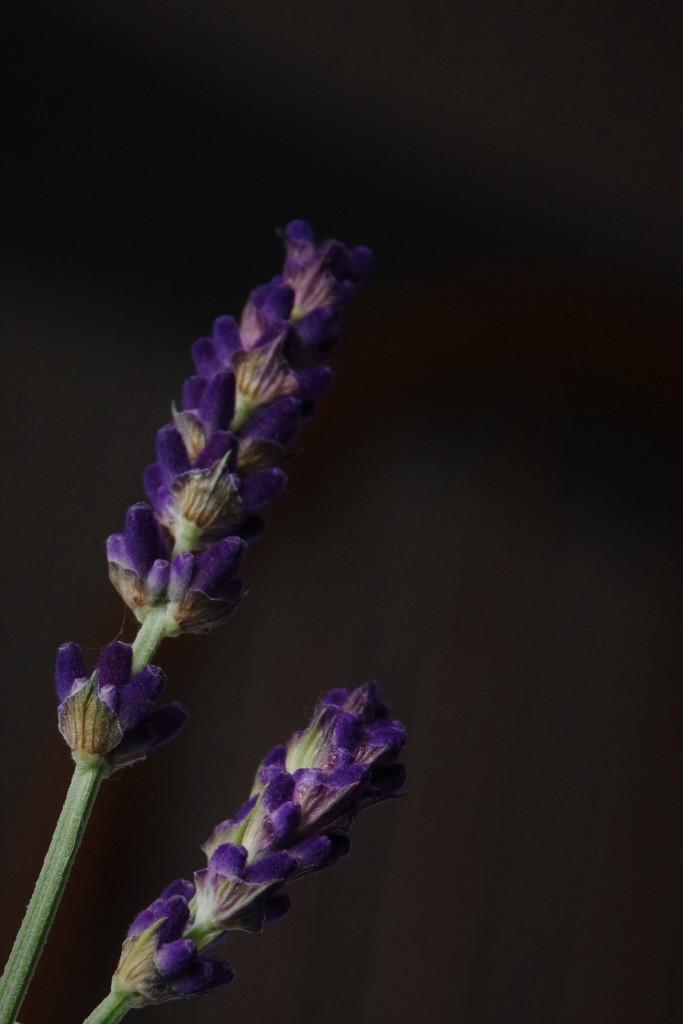 Midnight Lavender by 30pics4jackiesdiamond