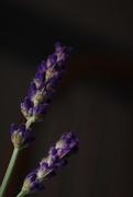 18th Jun 2019 - Midnight Lavender