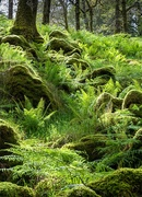 17th Jun 2019 - ferns and mossy boulders