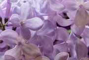 16th Jun 2019 - Lilac flowers