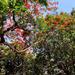 Gulmohur trees