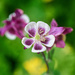Red/Purple Aquilegia