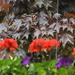 Geraniums Petunias Crimson Maple Tree Background