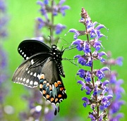 18th Jun 2019 - This black swallowtail butterfly likes my salvia as much as the bees do