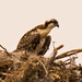 Baby Osprey! by rickster549