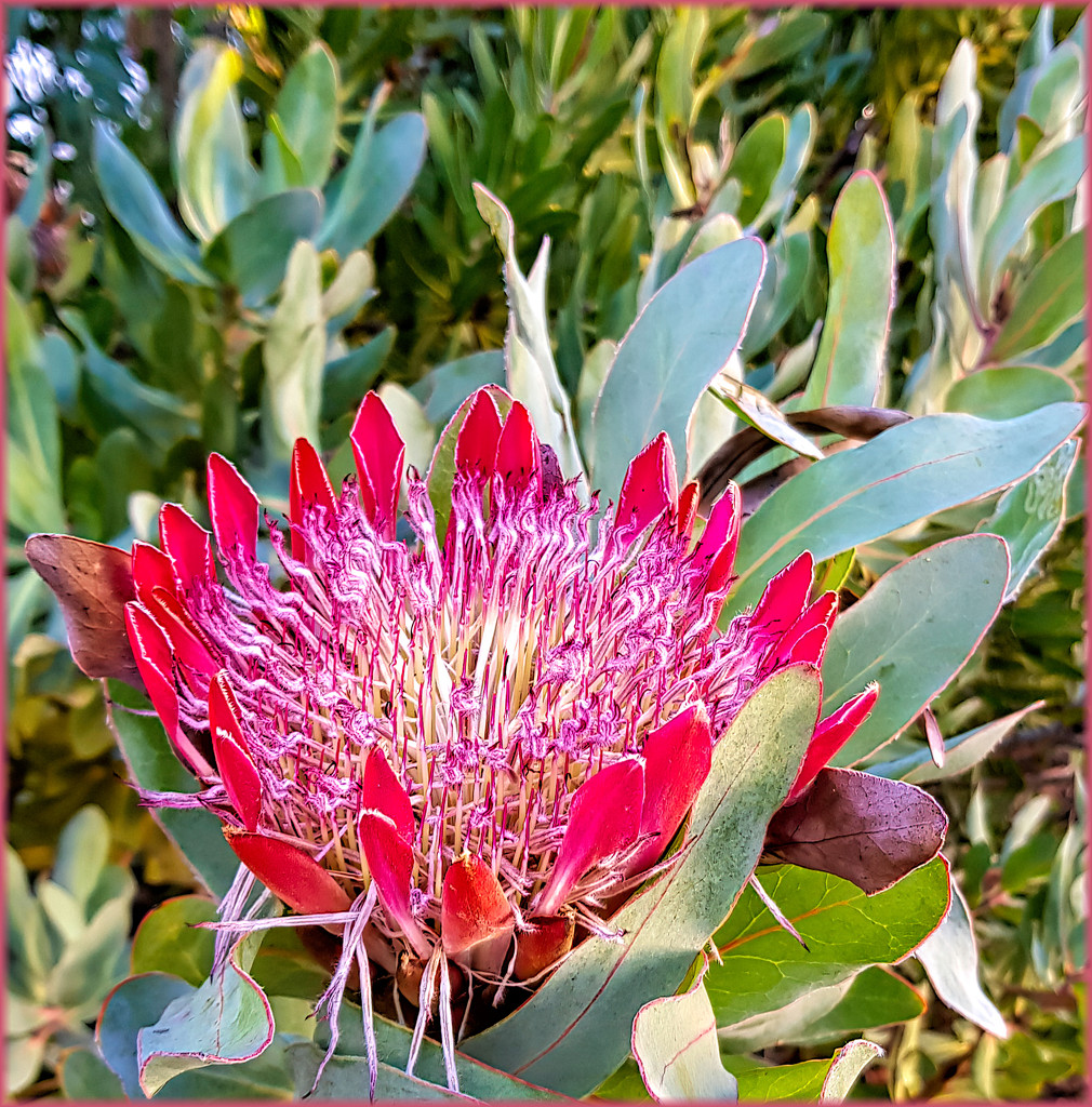 Protea growing wild by ludwigsdiana