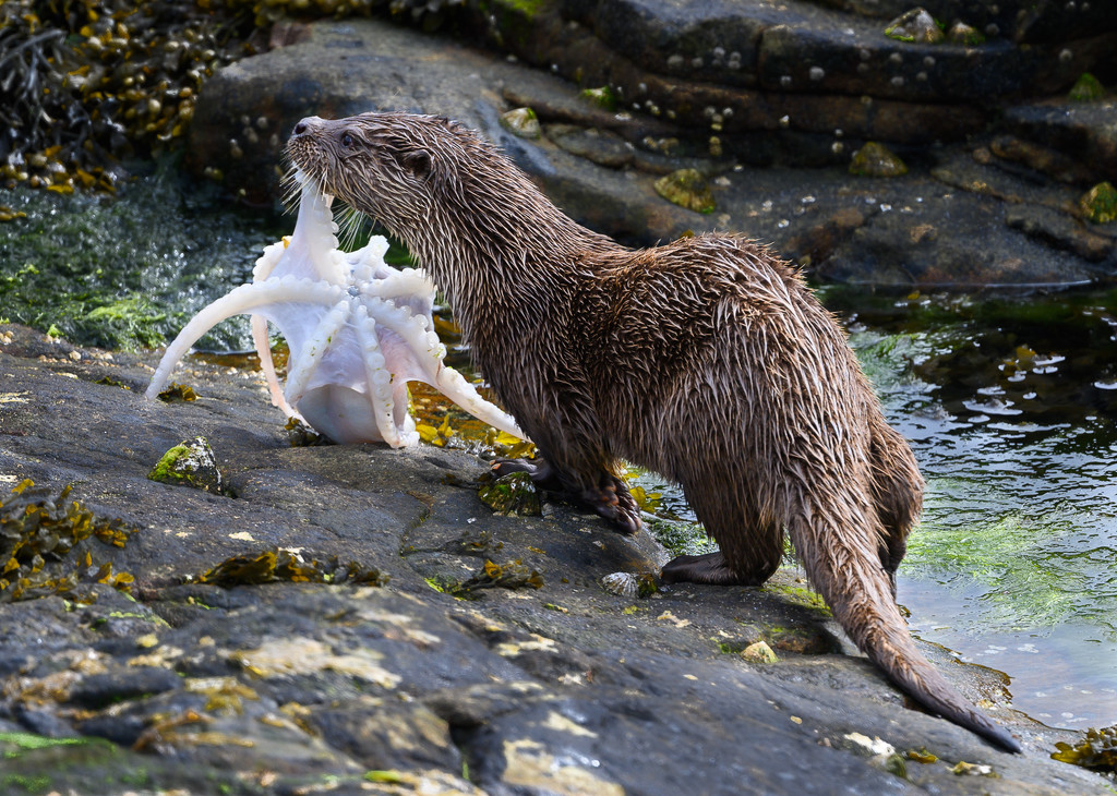 Otter with octopus by inthecloud5