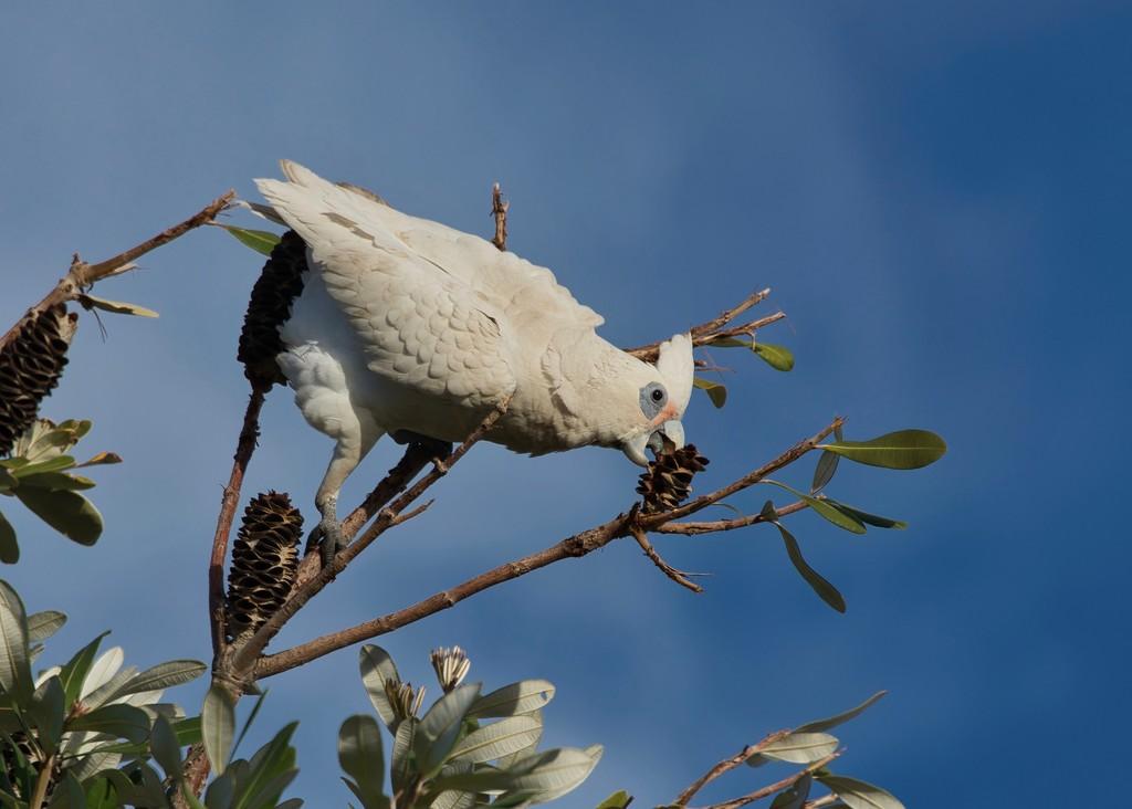 Banksia Seeds For Breakfast_DSC3003 Lum by merrelyn