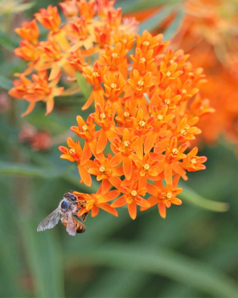 June 19: Honey bee on butterfly weed by daisymiller
