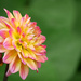 A Dahlia of My Own by gq