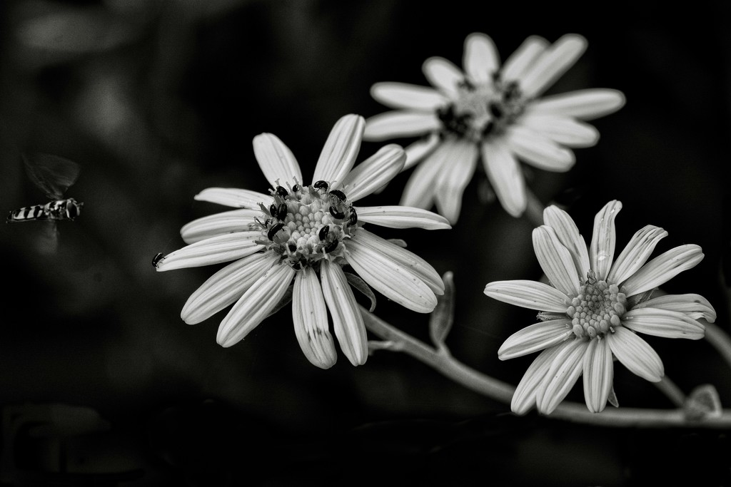 B&W Macro Challenge:  Alfresco Dining... by vignouse